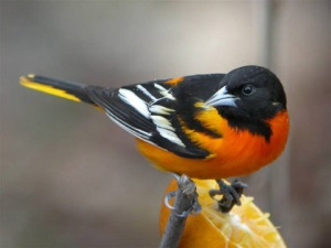 Attracting Baltimore Orioles
